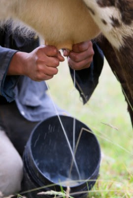 How To Handle Raw Milk … And Even Make It Last Longer Milk_cow-270x400