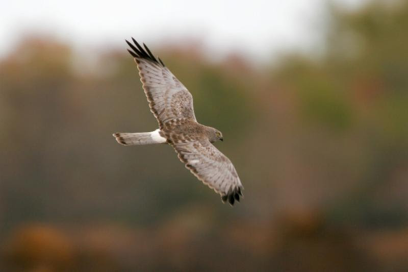 Birds like this magnificent Northern Harrier are at risk. Photo by Greg Lavaty
