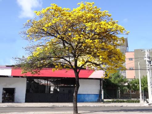 Resultado de imagem para ipe amarelo handroanthus chrysotricha
