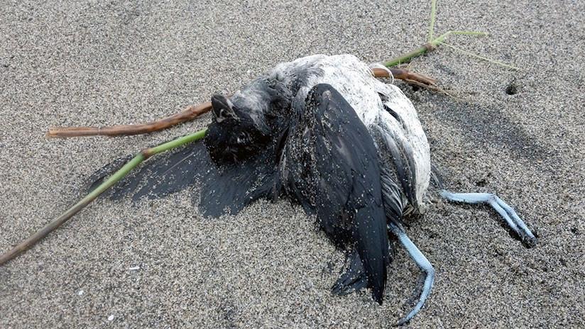 La misteriosa muerte de miles de aves en la costa Pacífica de EE.UU. anuncia un cataclismo
