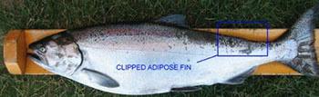 Clipped adipose fin