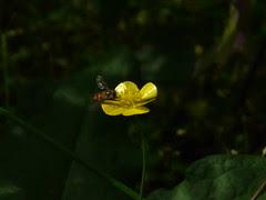 Ranunculus laetus