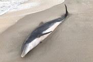 hurt dolphin