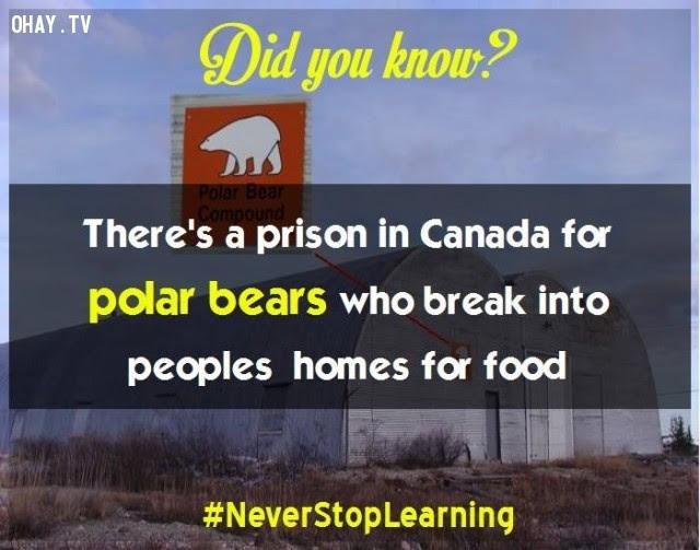 19. Ở Canada có một nhà tù dành riêng cho gấu Bắc cực, những con đã đột nhập vào nhà dân để lấy cắp thực phẩm.,sự thật thú vị,những điều thú vị trong cuộc sống,khám phá,sự thật đáng kinh ngạc,có thể bạn chưa biết
