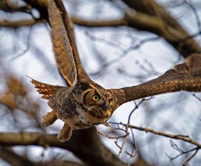 Owls Are Among the Most Sought-After Prizes on the Christmas Bird Count. Photo © Francois Portmann