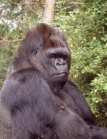 Koko the gorilla.jpg