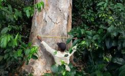 Estudante de mestrado mede um angelim-saia em Mato Grosso