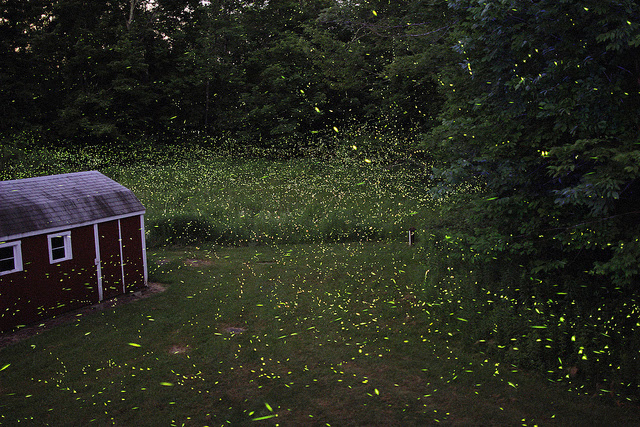 1. The state insect is the firefly.