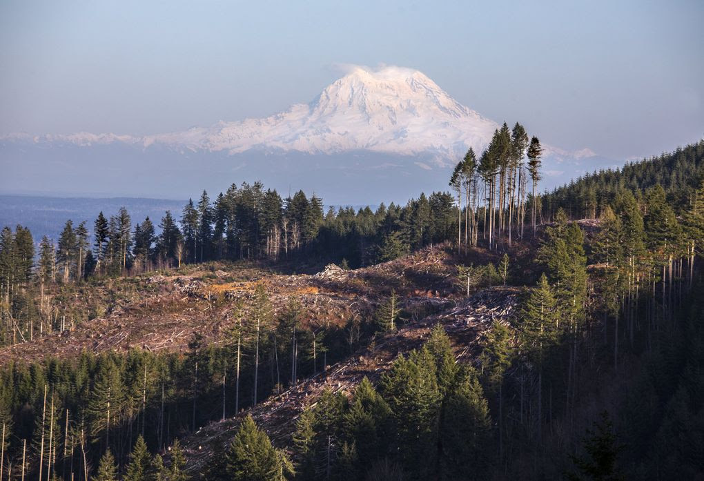 Mount Rainier looms in the eastern distance in a view of timber cuts in the Capitol State Forest near Olympia. (Steve Ringman / The Seattle Times)