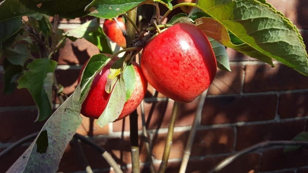 Apples in the manse garden