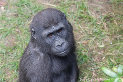 Gorilla looking at camera