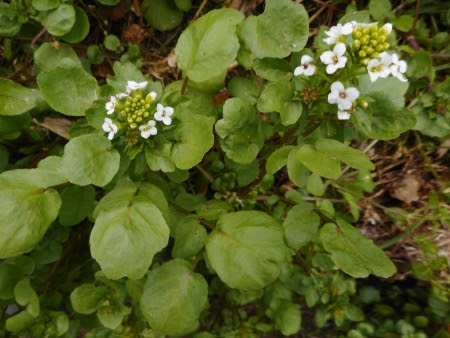 Watercress flowers