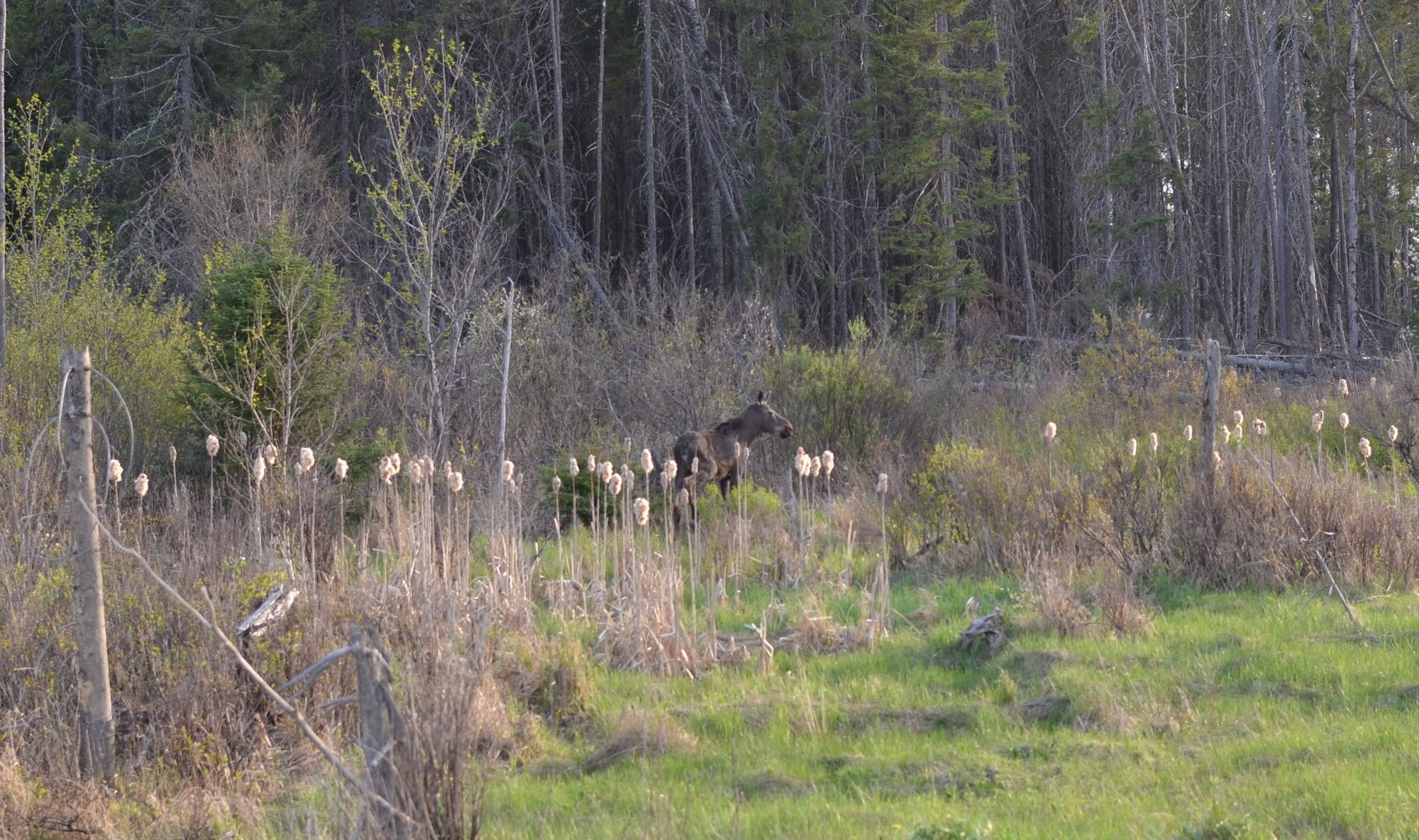 A moose walk through a wetland along U.S. 41 in western Marquette County in May.