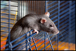 The figure above is a photograph showing a pet rat in cage.