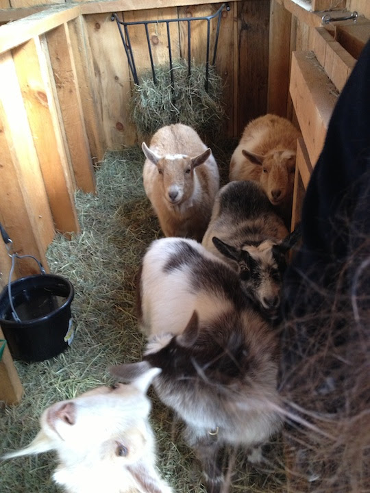five goats in                           barn