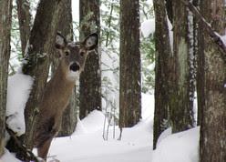 a deer in winter