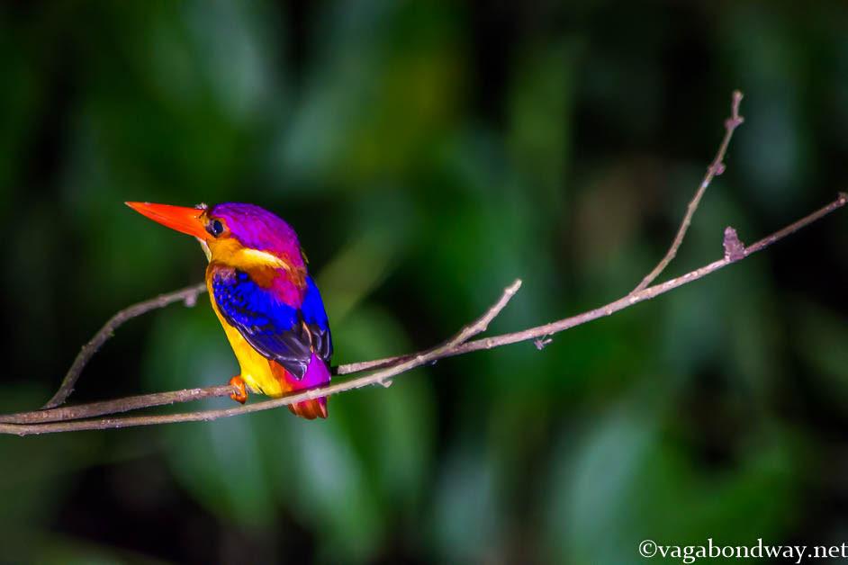 kingfisher-kinabatangan-borneo-malaysia