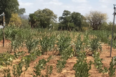 https://www.iaea.org/sites/default/files/styles/thumbnail_165x110/public/testing-rain-fed-crops-1140x640.png?itok=3fyR-35N