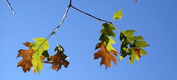 Oak leaves wilting and browning due to oak wilt disease