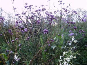Verbena Bonariensis & Nicotiana Affinis in the Bee &  Butterfly border - 19.10.11