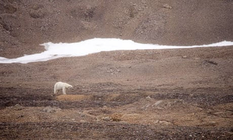 A thin female Polar Bear wearing a radio collar for tracking on Spitsbergen, Svalbard, Norway