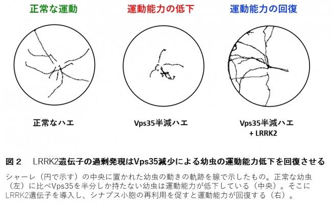 図2  LRRK2遺伝子の過剰発現はVps35減少による幼虫の運動能力低下を回復させる
