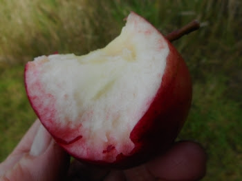 Mid-morning snack on my daily walk around the new orchard - Scrumptious truly living up to it's name!