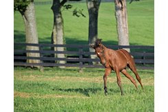 A Thoroughbred foal gallops in a paddock on a farm in Kentucky