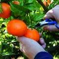 Más de 104.000 parados en Extremadura y se está quedando fruta sin recolectar por falta de mano de obra