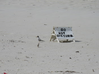 A Least Tern and her chicks check out a newly placed chick shelter. Photo provided by Bonnie Samuelsen of Audubon Florida.