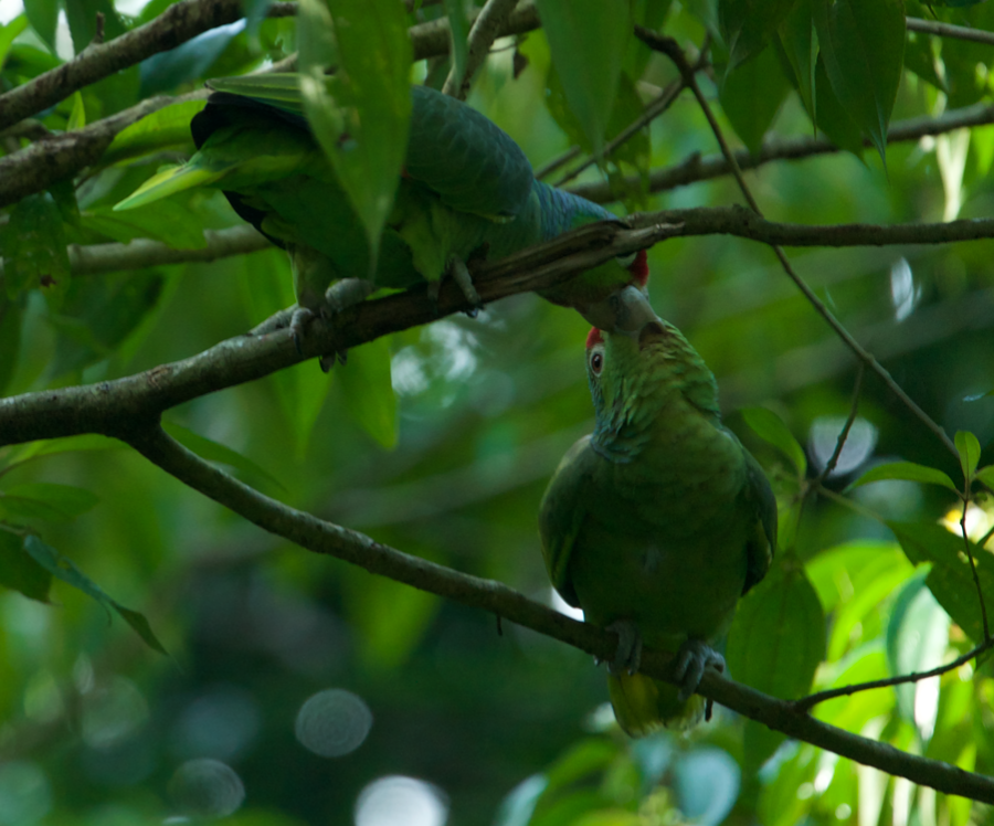 Red lored parrot being fed by mate in a tree