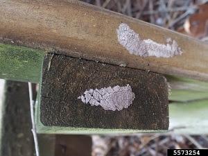 Spotted lanternfly egg masses