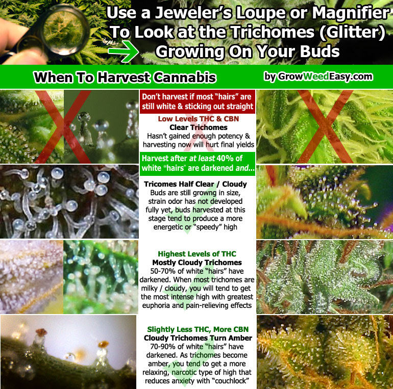 Click me to see weed harvest pics up close and personal, learn how to tell if your marijuana is ready to harvest by looking at trichomes