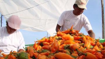 Existan alrededor de 11.000 productores dedicados al cultivo de ajíes, pimientos y rocotos en nuestro país