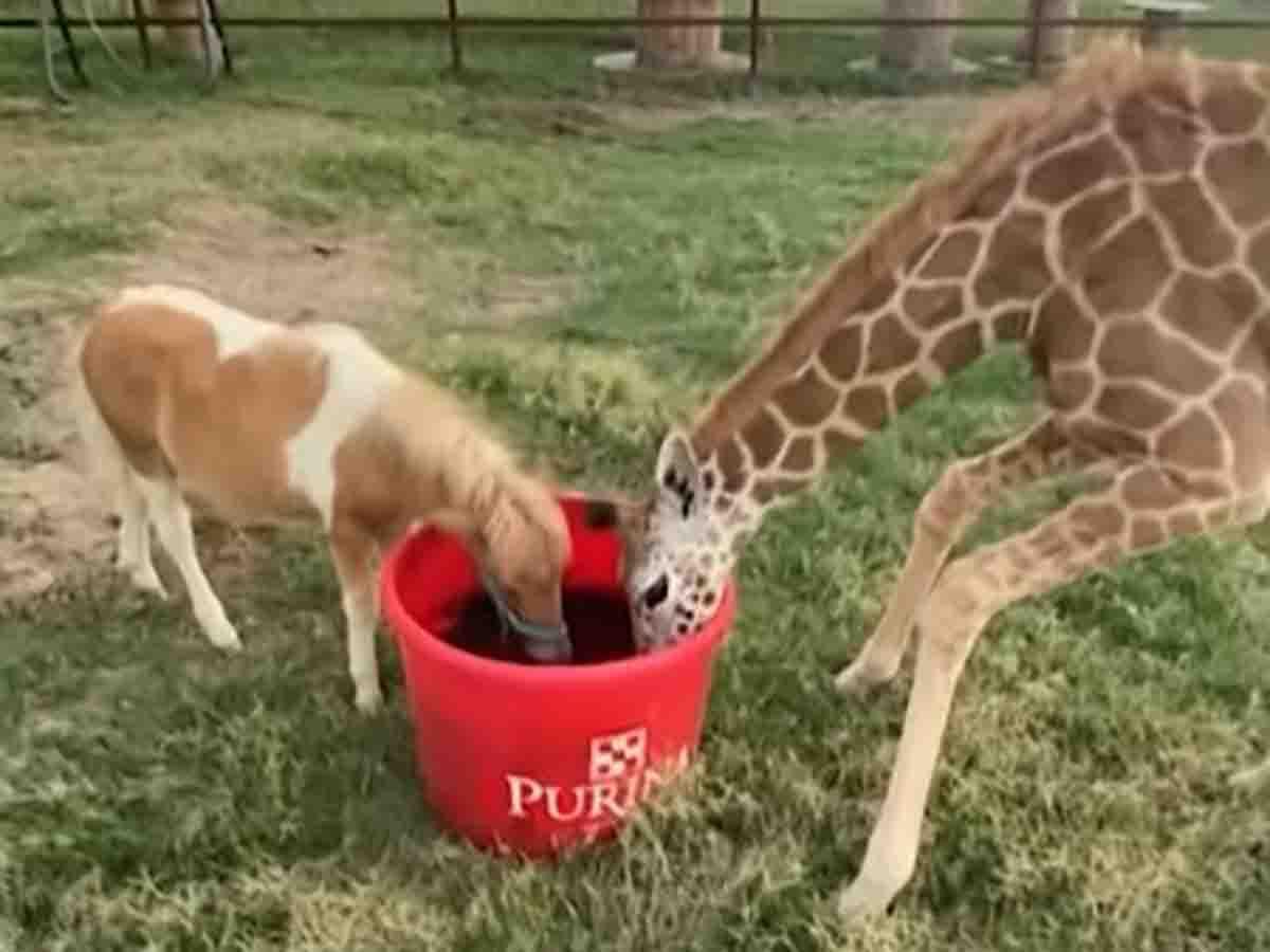 Caballo miniatura y jirafa son inseparables amigos... ¡tienes que verlos!