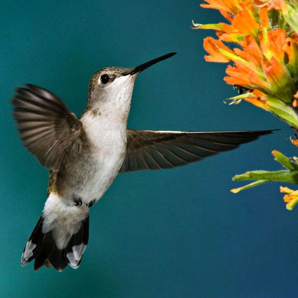 Black-Chinned Hummingbird with Indian Paintbrush.