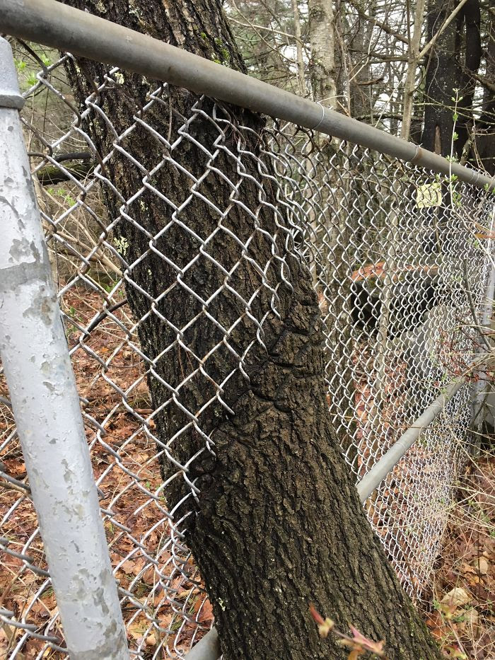 This Tree                                                          Growing                                                          Through A                                                          Fence