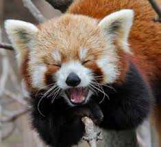 Image result for red panda being scared