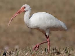 Image result for Ibis Bird