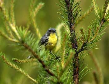 Kirtland's warbler in jack pine tree