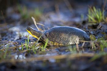 Blanding's turtle in swamp