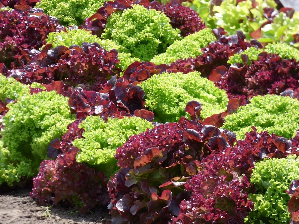 colorful lettuce