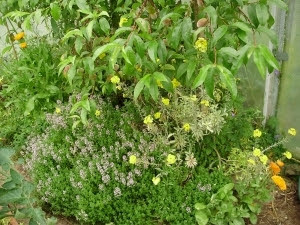 Mini garden under peach trees with thyme, calendula, borage and wallflower