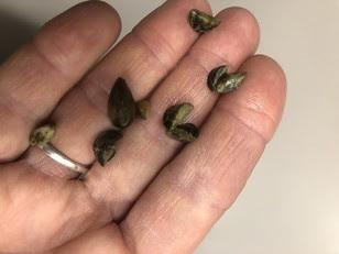 handful of zebra mussels