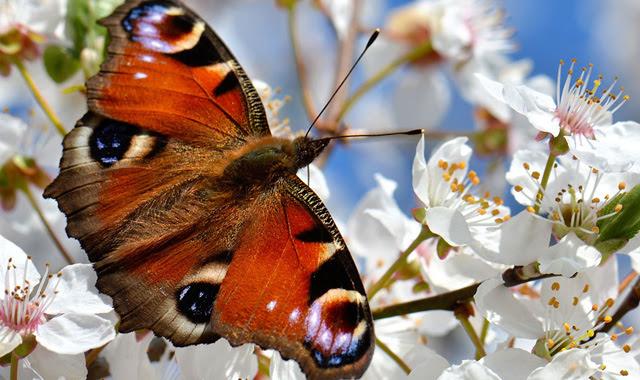 A butterfly amongst blossom