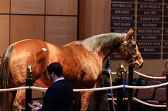 Appeal to the Win, in foal to Flatter, sells during the Fasig-Tipton Kentucky Winter Mixed Sale