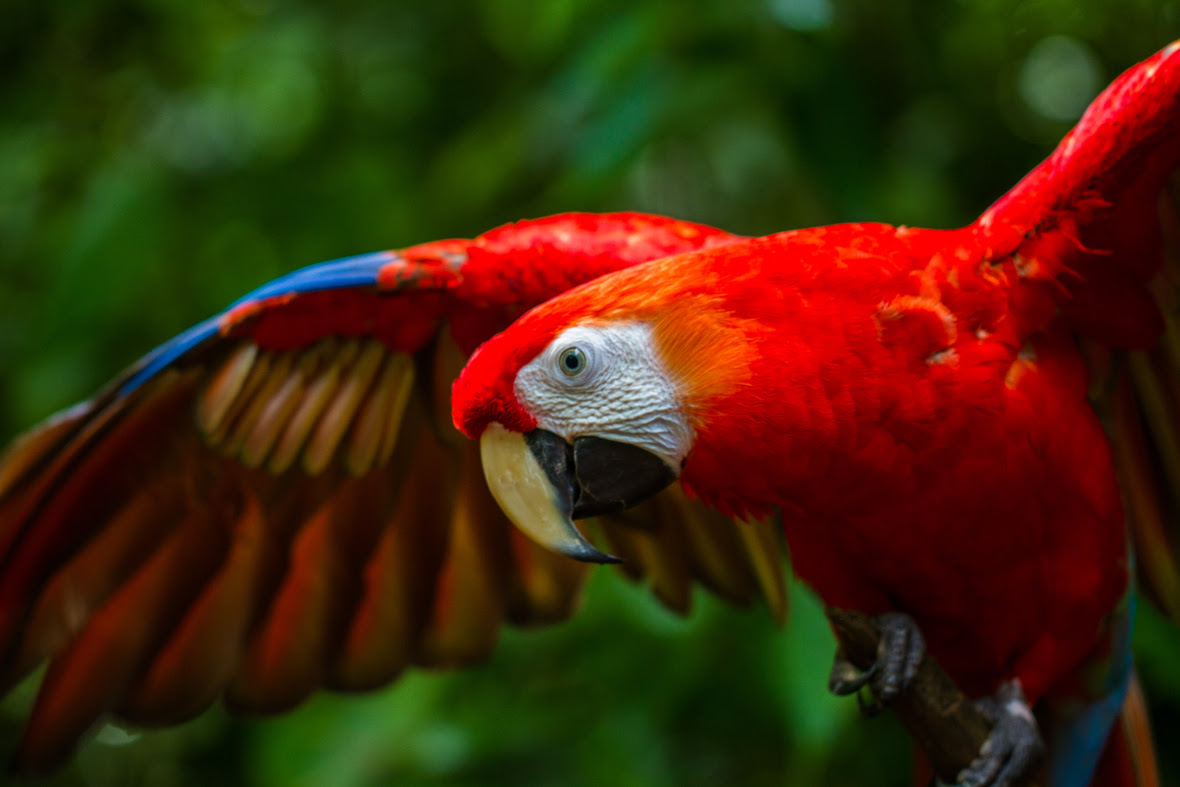 Adult scarlet macaw flapping their wings