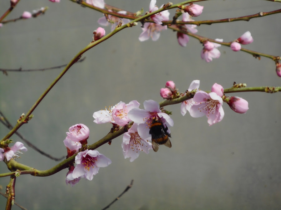 Bee pollinating peach 2 PTP