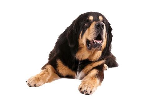 Treat Your Dog With Tibetan Chew