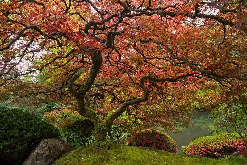 http://twistedsifter.com/2013/09/portland-famous-japanese-maple-tree/